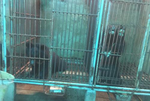 Dấu hỏi về sự tắc trách trong xử lý vụ nuôi nhốt gấu bất hợp pháp tại Nghệ An ảnh 1