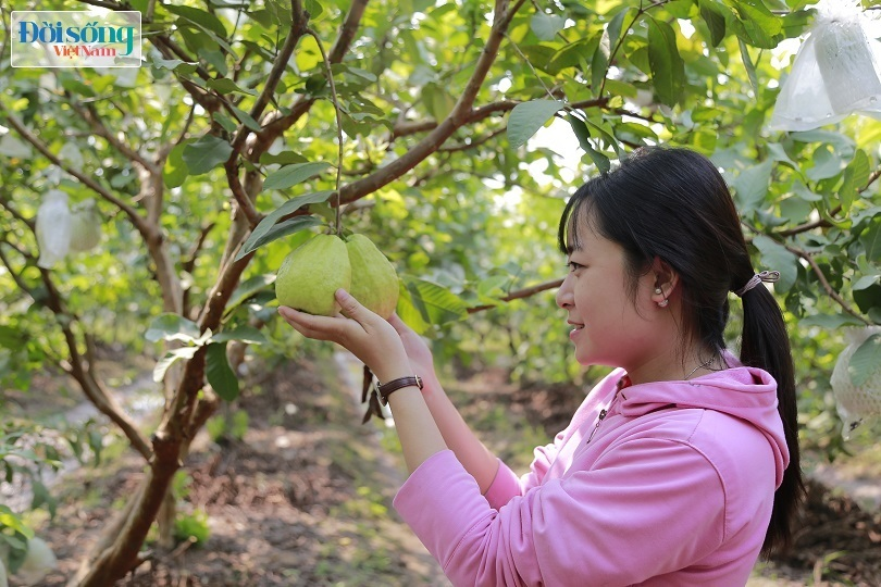 Hot girl 9X Hưng Yên trồng ổi Đài Loan kiếm hàng trăm triệu mỗi năm Ảnh 4