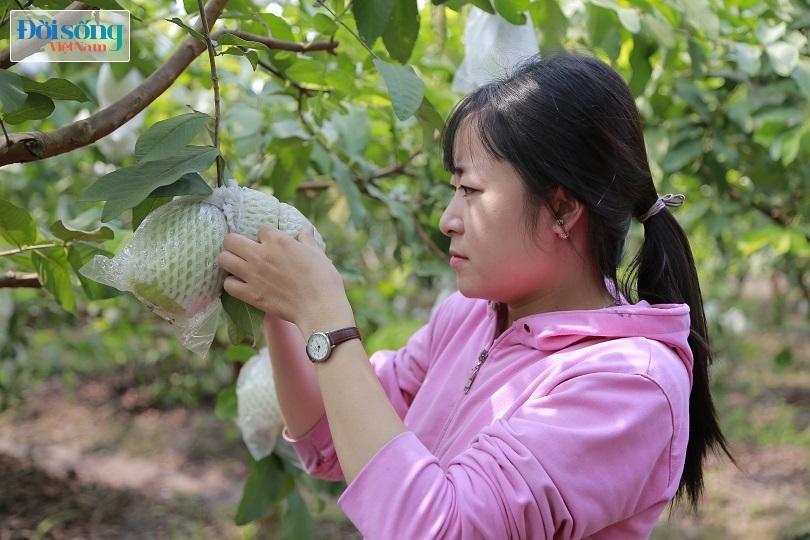 Hot girl 9X Hưng Yên trồng ổi Đài Loan kiếm hàng trăm triệu mỗi năm Ảnh 3