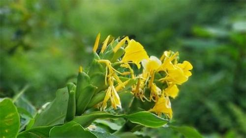 Hoạt chất trong cây ngải tiên góp phần hỗ trợ điều trị viêm đại tràng Ảnh 1