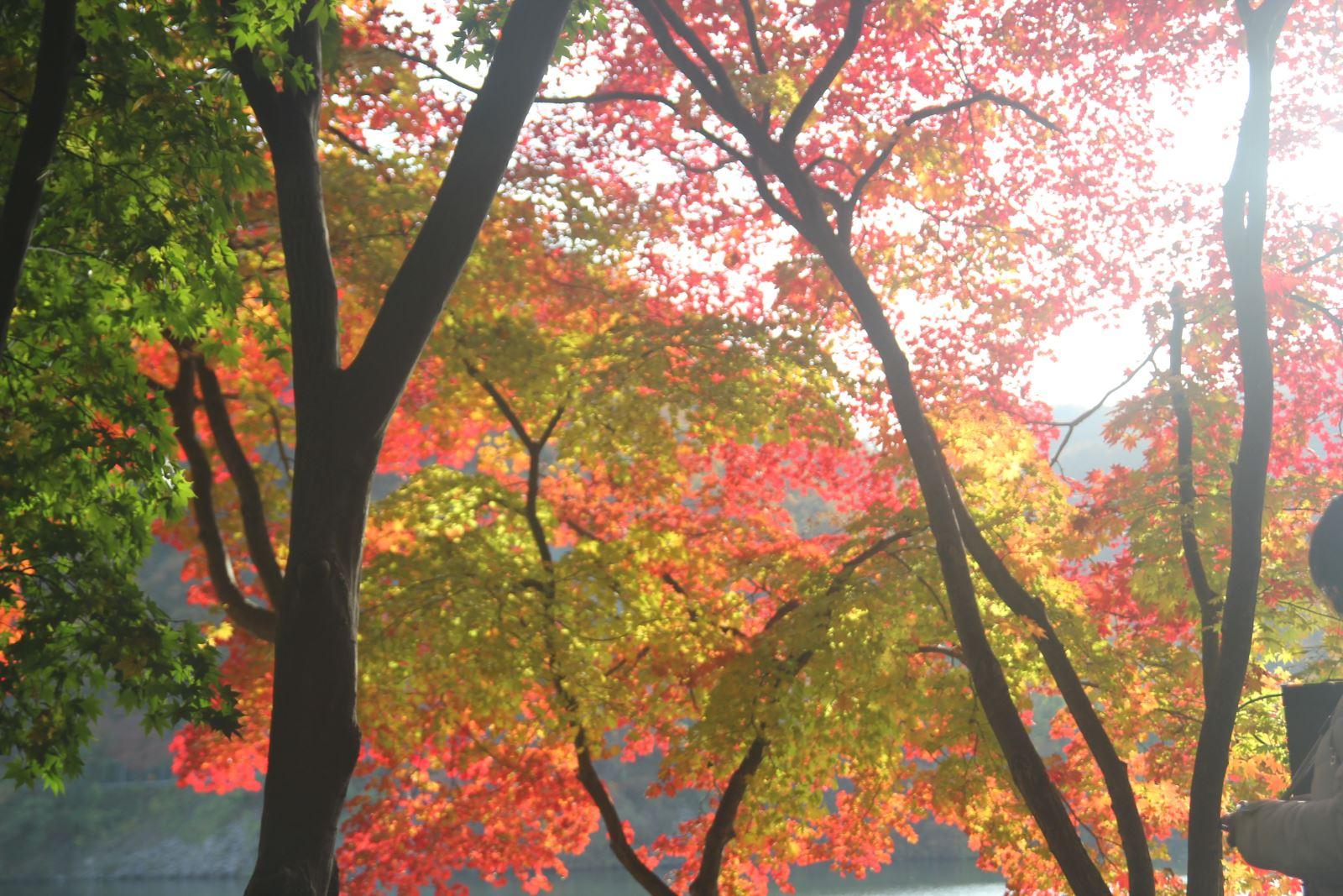 Lá vàng, lá đỏ vào đợt đẹp nhất mùa thu xứ Hàn Ảnh 9