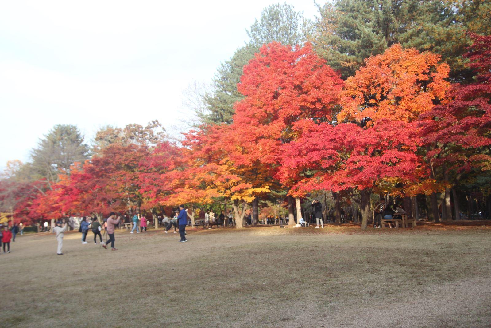 Lá vàng, lá đỏ vào đợt đẹp nhất mùa thu xứ Hàn Ảnh 5