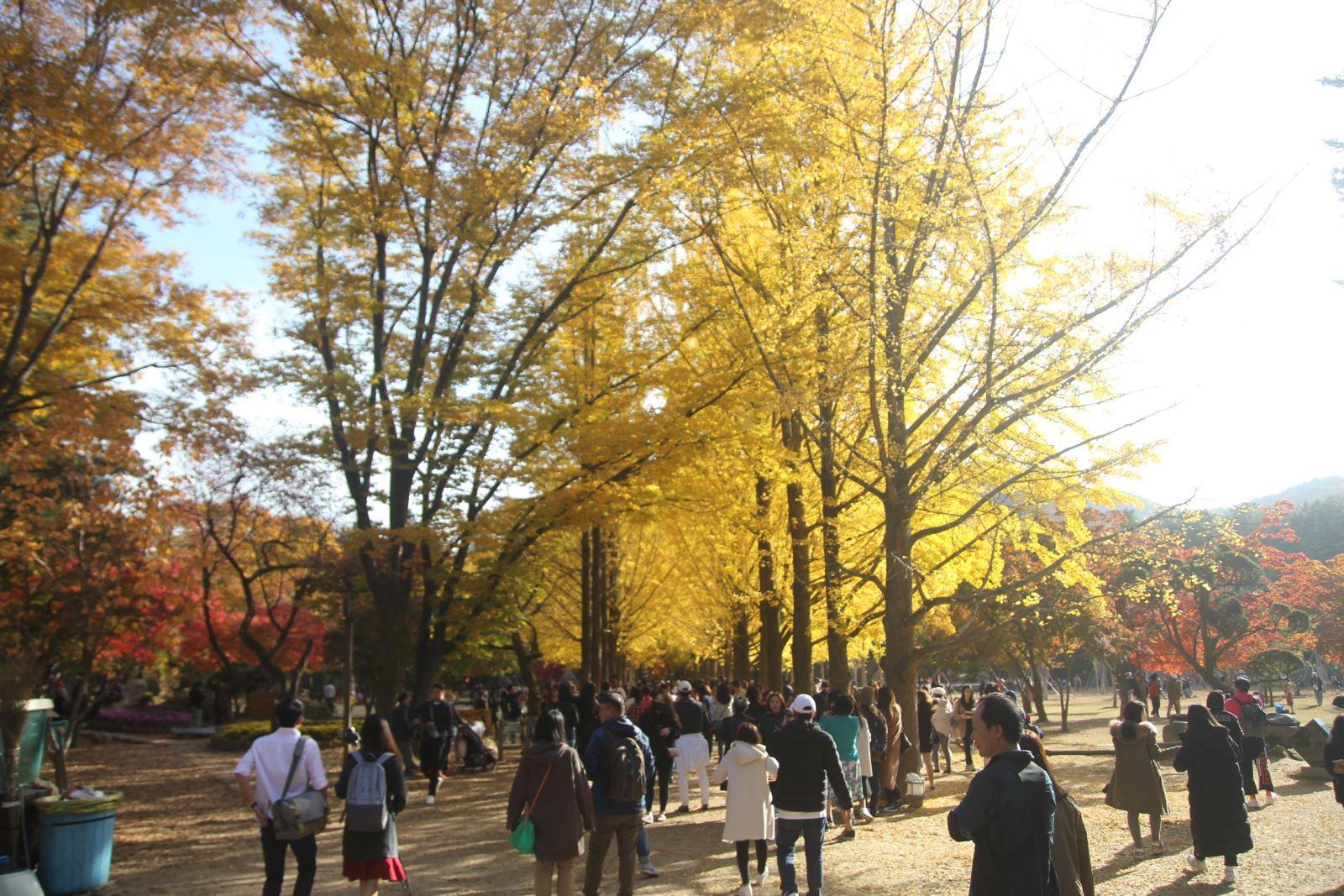 Lá vàng, lá đỏ vào đợt đẹp nhất mùa thu xứ Hàn Ảnh 4