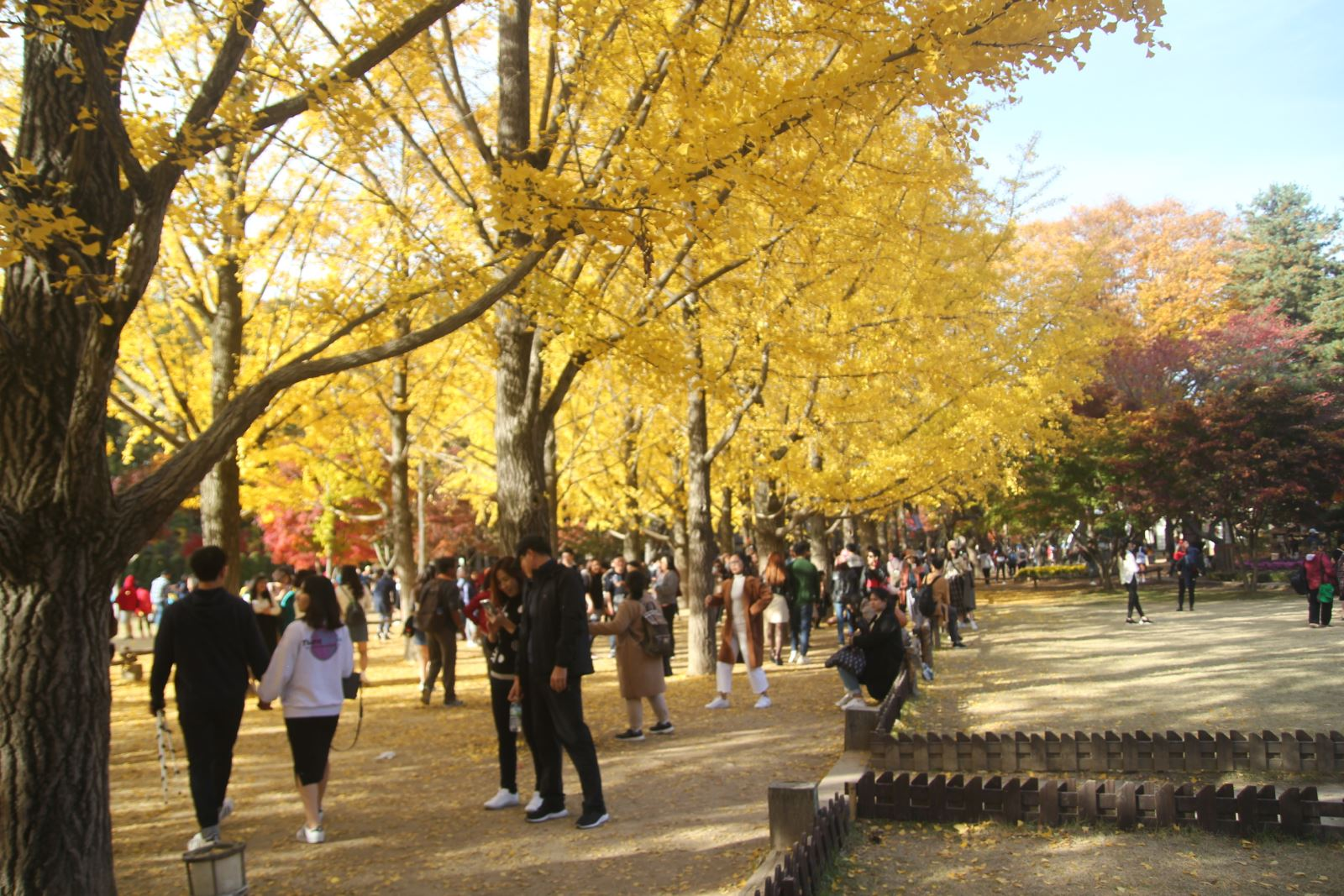 Lá vàng, lá đỏ vào đợt đẹp nhất mùa thu xứ Hàn Ảnh 6