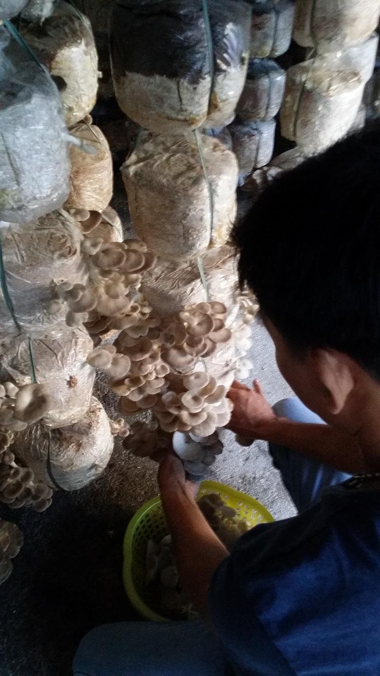 Đà Nẵng: 8X trồng thành công loài nấm Milky Hoàng đế Ảnh 4