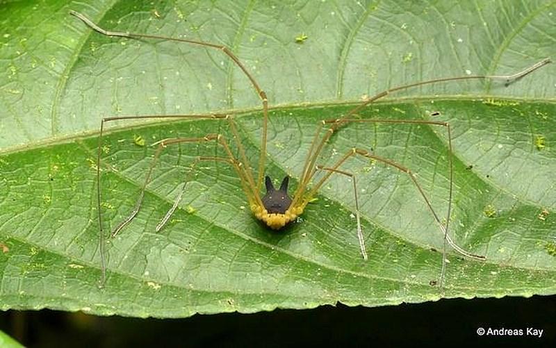 Phát hiện loài nhện đầu chó kỳ dị Ảnh 3