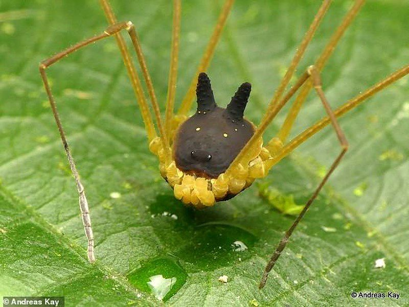 Phát hiện loài nhện đầu chó kỳ dị Ảnh 2