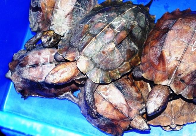 Phát hiện xe khách vận chuyển 26 cá thể rùa đặc biệt nguy cấp Ảnh 1