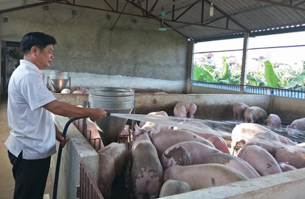 Giá heo hơi hôm nay 10/11: Sự thực người nuôi vẫn lãi 1 triệu/con, dù giá lợn hơi giảm Ảnh 1