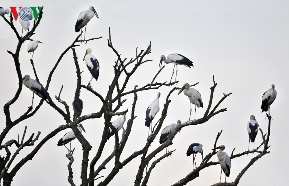 Mãn nhãn với hình ảnh đàn cò chao lượn trên những rặng tre xanh Ảnh 9
