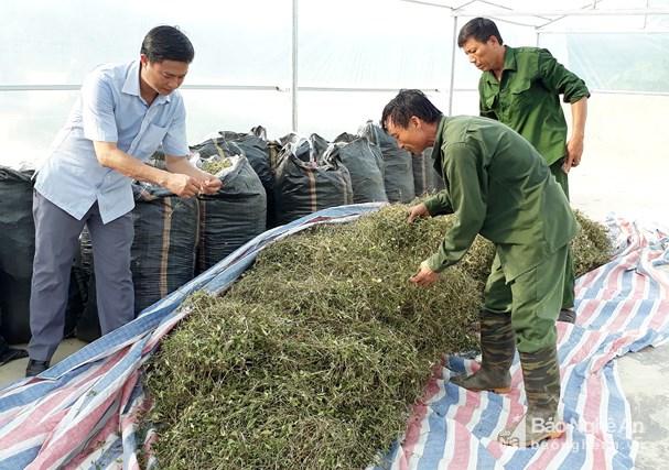 Đồng bào Thái Con Cuông trồng thêm 3ha dược liệu theo VietGAP Ảnh 3