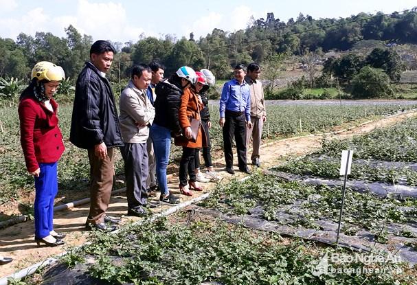 Đồng bào Thái Con Cuông trồng thêm 3ha dược liệu theo VietGAP Ảnh 1