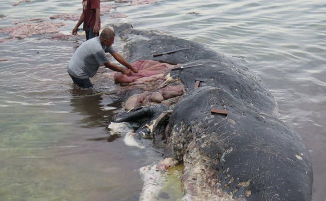 Indonesia phát hiện xác cá voi chứa 6 kg nhựa trong dạ dày Ảnh 1