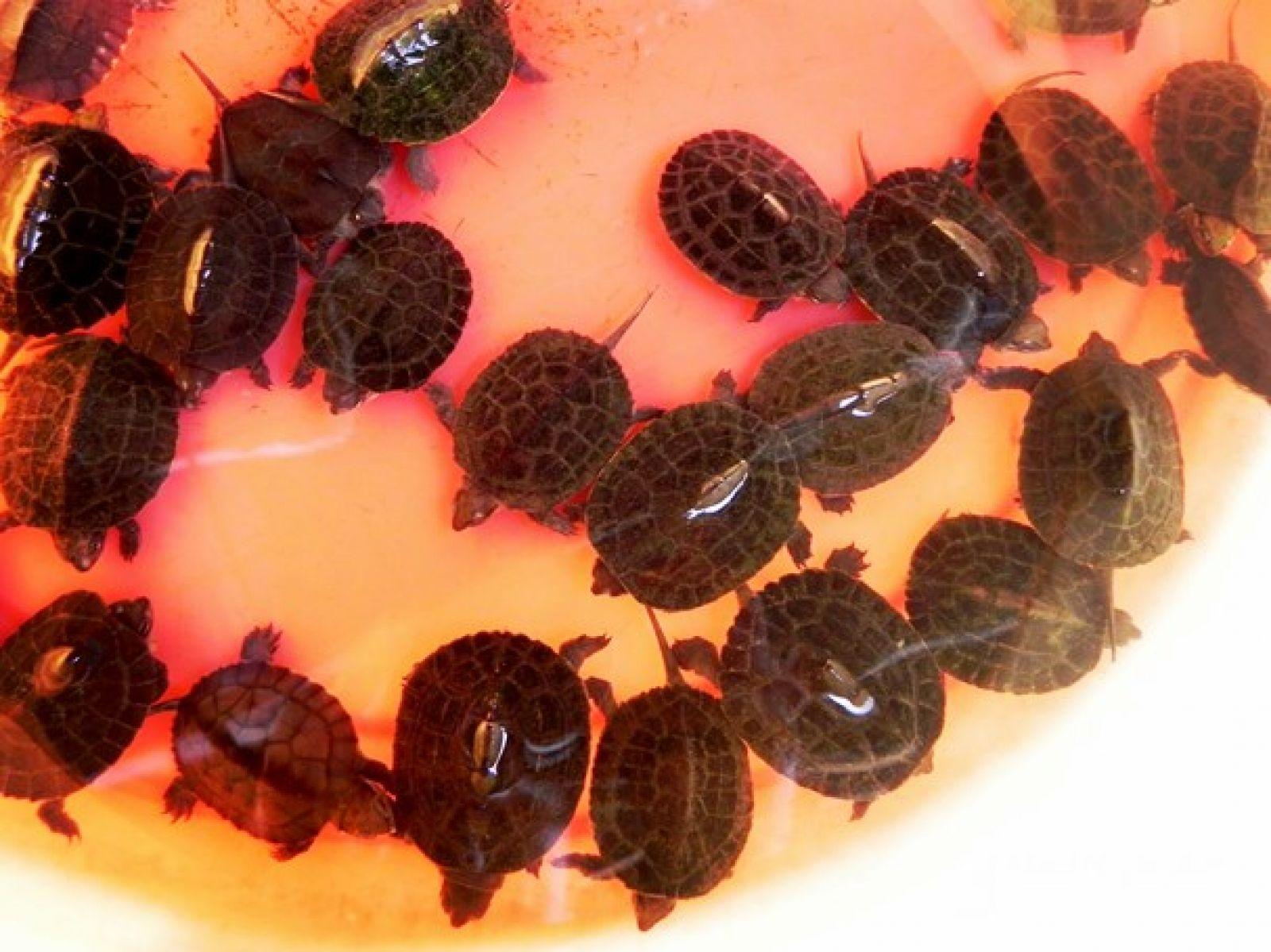 Nuôi lổm ngổm loài rùa to lụ khụ ở bể xi măng, bán 700 ngàn/con Ảnh 1