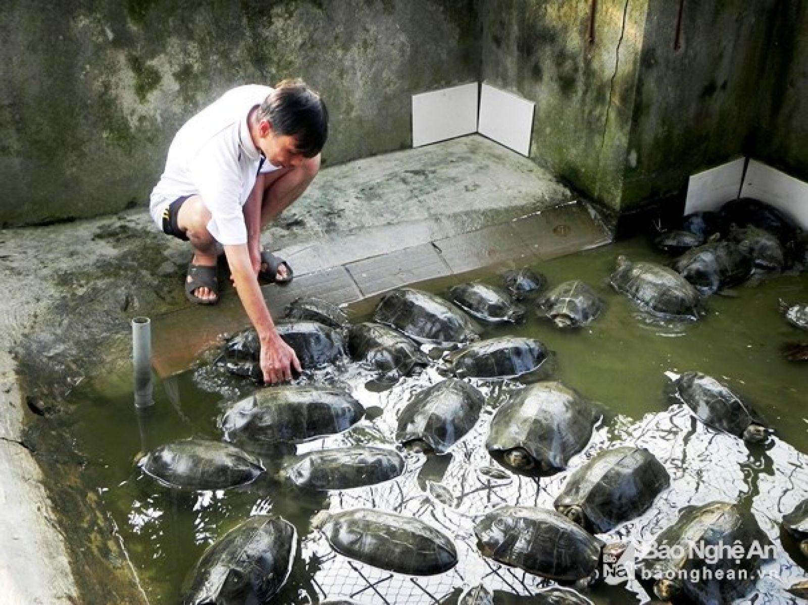 Nuôi lổm ngổm loài rùa to lụ khụ ở bể xi măng, bán 700 ngàn/con Ảnh 2