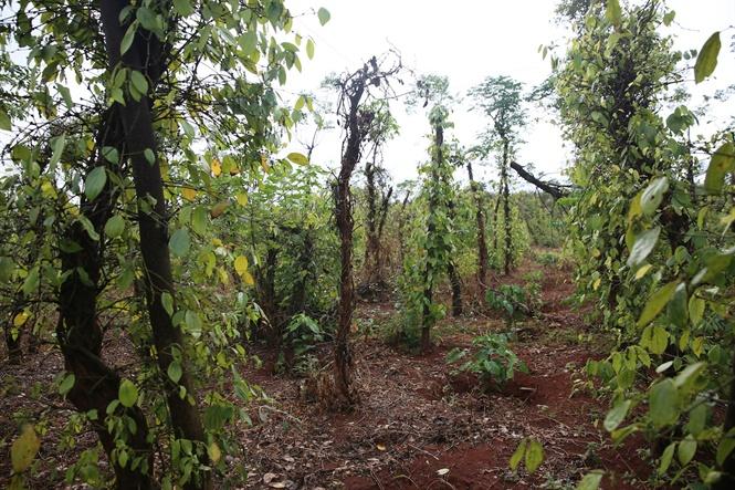 Giá cà phê hôm nay 12/1 hồi phục, nông dân lại mất ngàn tỉ vì giá tiêu giảm sốc, chết hàng loạt Ảnh 3