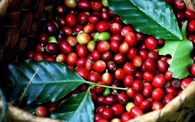Giá cà phê hôm nay 12/1 hồi phục, nông dân lại mất ngàn tỉ vì giá tiêu giảm sốc, chết hàng loạt Ảnh 1