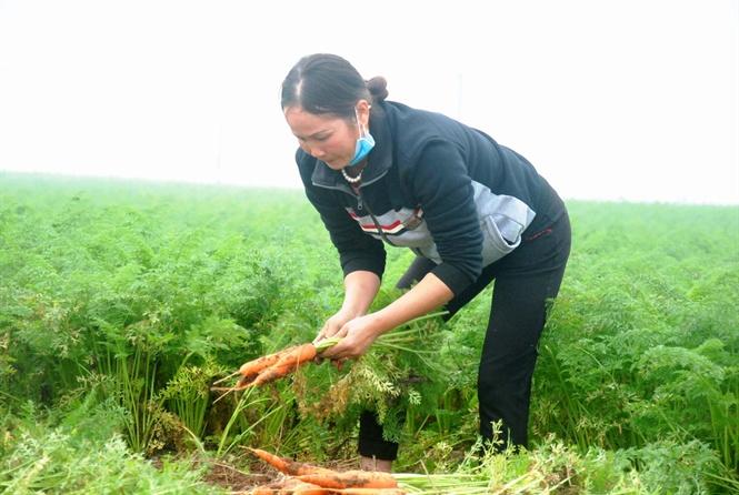 Hàng ngàn ha cà rốt vẫn 'phơi đồng', vắng tanh thương lái thu mua Ảnh 2