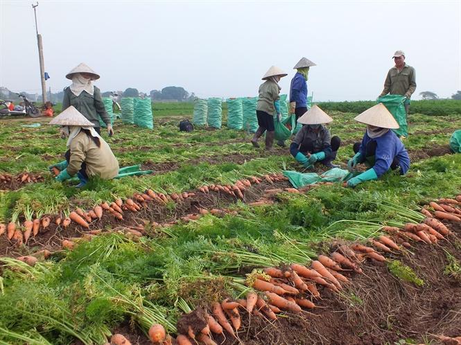 Hàng ngàn ha cà rốt vẫn 'phơi đồng', vắng tanh thương lái thu mua Ảnh 1