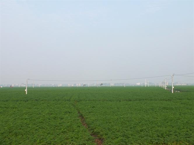 Hàng ngàn ha cà rốt vẫn 'phơi đồng', vắng tanh thương lái thu mua Ảnh 3