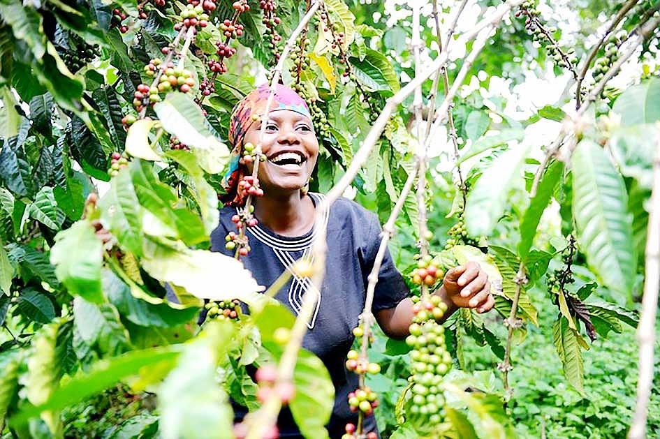 Dự báo cà phê châu Phi lên ngôi Ảnh 1