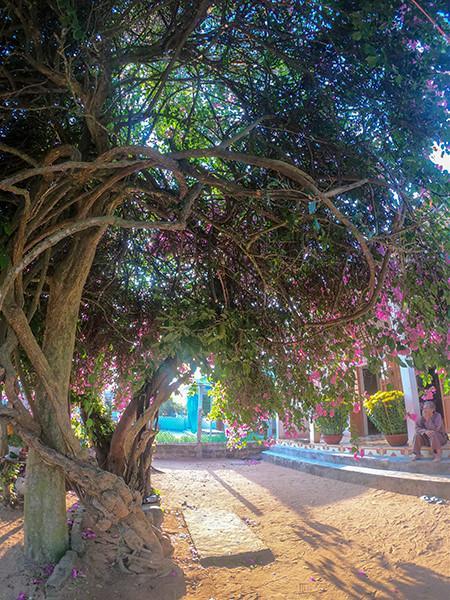 Chiêm ngưỡng 'cụ' hoa giấy trăm triệu ở đảo Lý Sơn Ảnh 2