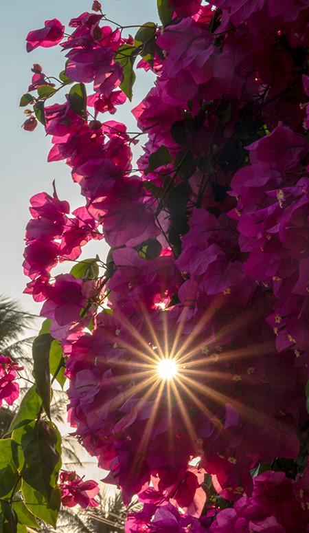 Chiêm ngưỡng 'cụ' hoa giấy trăm triệu ở đảo Lý Sơn Ảnh 6
