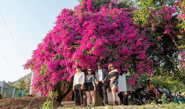 Chiêm ngưỡng 'cụ' hoa giấy trăm triệu ở đảo Lý Sơn Ảnh 1