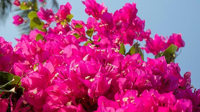 Chiêm ngưỡng 'cụ' hoa giấy trăm triệu ở đảo Lý Sơn Ảnh 5