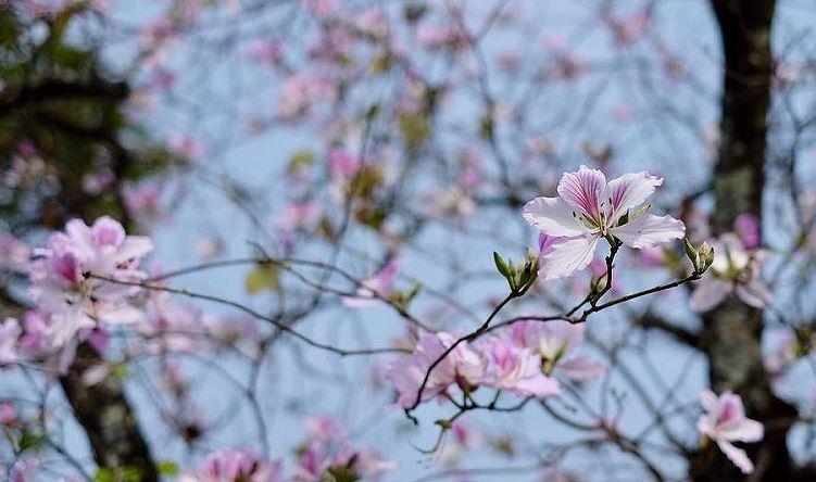 Ngắm hoa ban khoe sắc khắp phố phường Hà Nội Ảnh 2