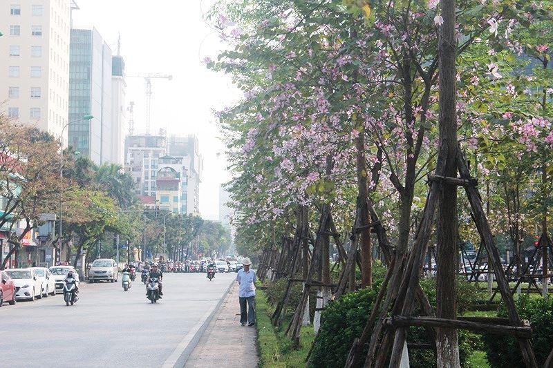 Ngắm hoa ban khoe sắc khắp phố phường Hà Nội Ảnh 5