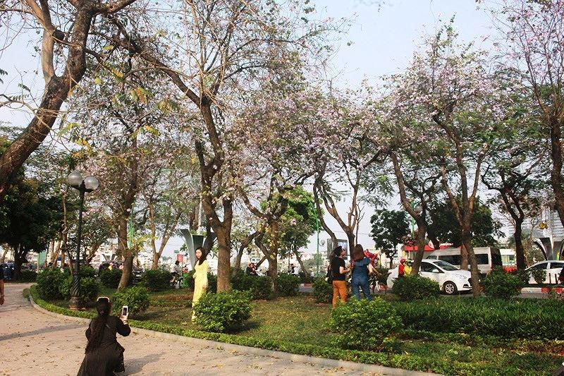 Ngắm hoa ban khoe sắc khắp phố phường Hà Nội Ảnh 6