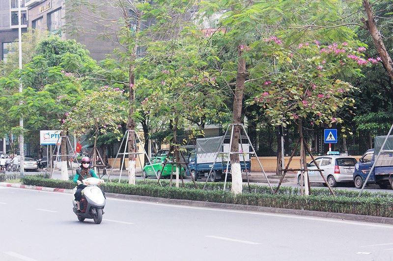 Ngắm hoa ban khoe sắc khắp phố phường Hà Nội Ảnh 3