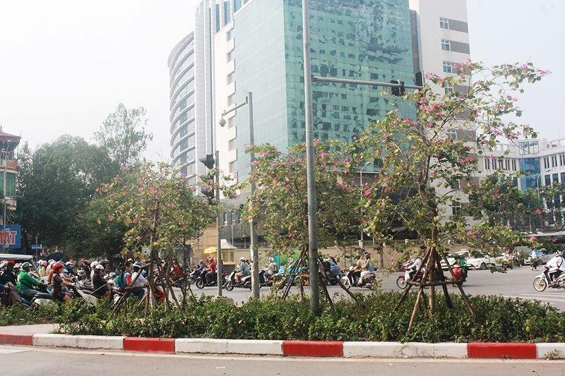 Ngắm hoa ban khoe sắc khắp phố phường Hà Nội Ảnh 4
