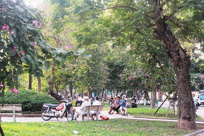 Ngắm hoa ban khoe sắc khắp phố phường Hà Nội Ảnh 10