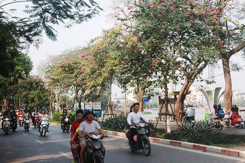 Ngắm hoa ban khoe sắc khắp phố phường Hà Nội Ảnh 1