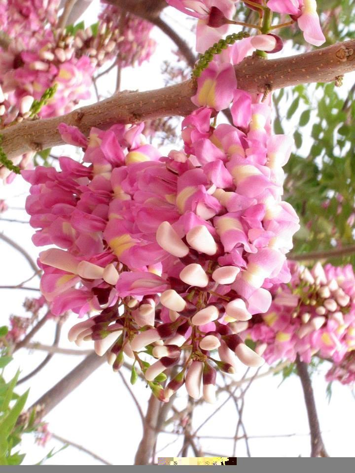 Ngắm hoa đỗ mai đẹp dịu dàng, lần đầu khoe sắc tại Hải Dương Ảnh 1