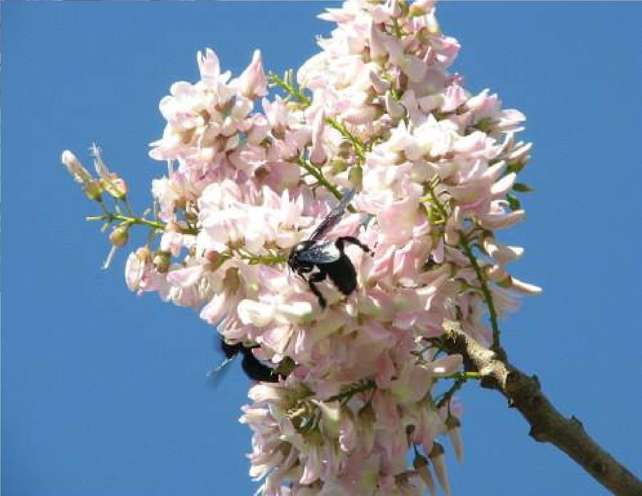 Ngắm hoa đỗ mai đẹp dịu dàng, lần đầu khoe sắc tại Hải Dương Ảnh 4