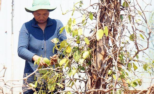 Hơn 30.000 ha cây trồng ở Tây Nguyên có nguy cơ thiếu nước tưới Ảnh 1