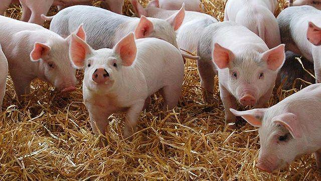 Giá rau, cá, đậu phụ tăng vọt trước dịch tả thịt lợn châu Phi Ảnh 3