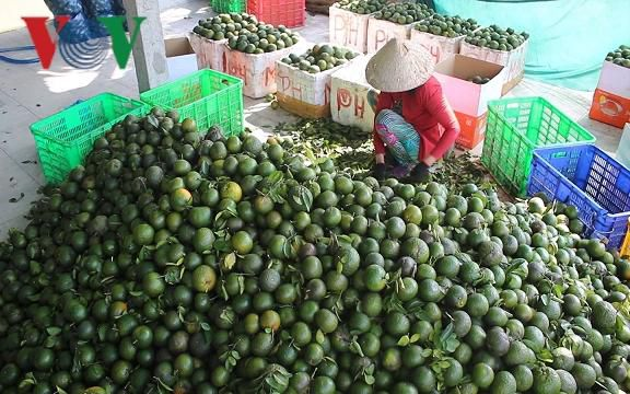 Giá cam sành trái vụ ở đồng bằng sông Cửu Long tiếp tục giảm mạnh Ảnh 1
