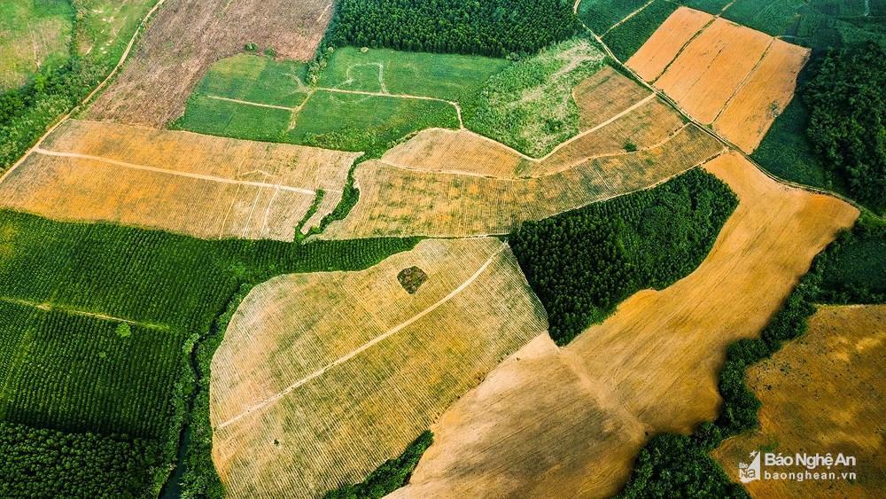 Tuyệt đẹp mùa thu hoạch dứa Quỳnh Lưu Ảnh 1