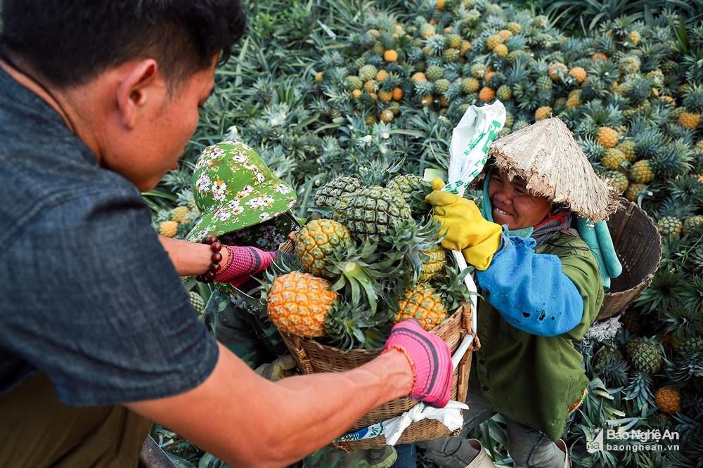 Tuyệt đẹp mùa thu hoạch dứa Quỳnh Lưu Ảnh 5