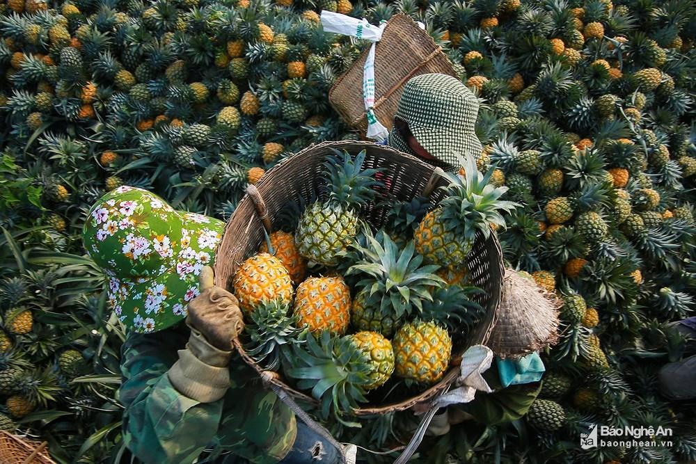 Tuyệt đẹp mùa thu hoạch dứa Quỳnh Lưu Ảnh 4