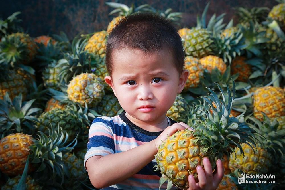 Tuyệt đẹp mùa thu hoạch dứa Quỳnh Lưu Ảnh 7
