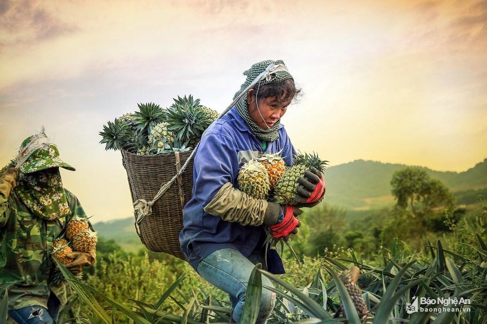 Tuyệt đẹp mùa thu hoạch dứa Quỳnh Lưu Ảnh 3