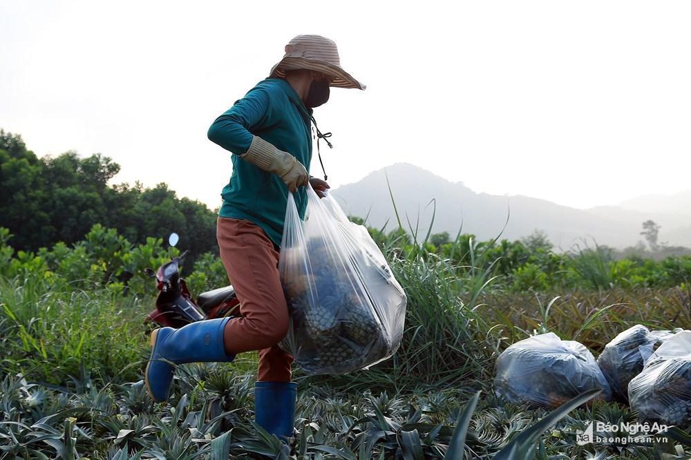 Tuyệt đẹp mùa thu hoạch dứa Quỳnh Lưu Ảnh 6
