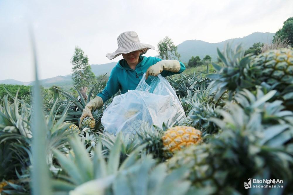 Tuyệt đẹp mùa thu hoạch dứa Quỳnh Lưu Ảnh 8