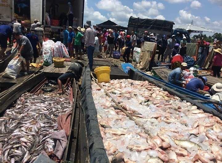 Cá nuôi bè trên sông La Ngà chết hàng loạt Ảnh 1