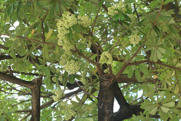 Người Hà Nội ngỡ ngàng khi hoa sữa bung nở giữa nắng gắt của mùa hè Ảnh 7